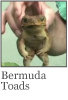 Link for Bermuda Toads video