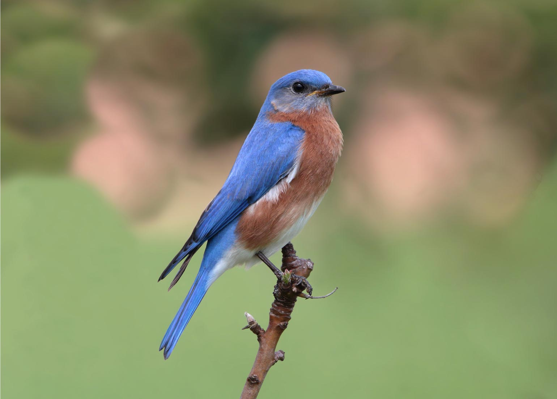 Bermuda Eastern Bluebird