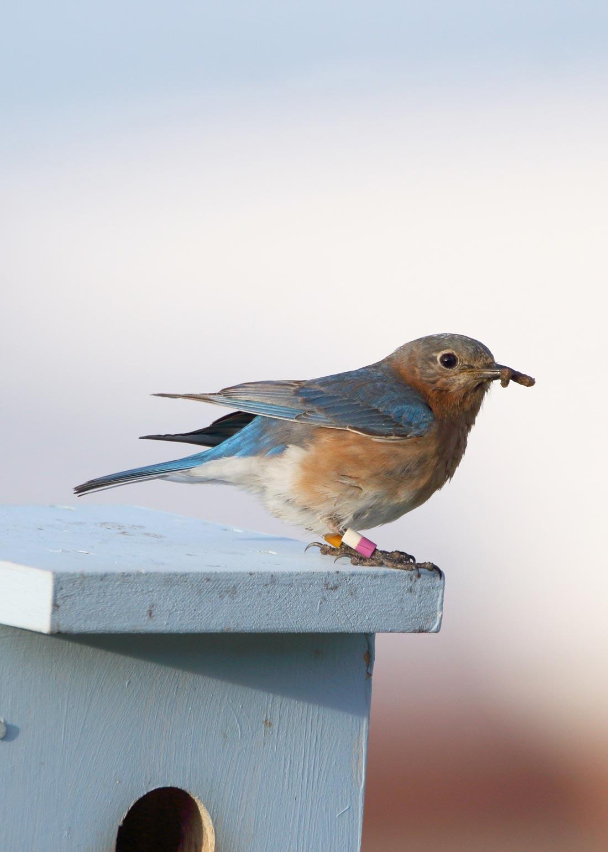 Bermuda Eastern Blue bird